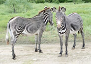 Grevy's Zebra Stallion and Mare