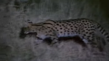 Henry's Amazing Animals Serval