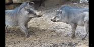 Louisville Zoo Warthogs