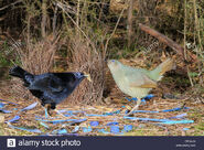 Male and Female Satin Bowerbirds