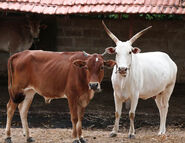 Ox Bull and Cow