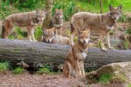 Pack of Red Wolves