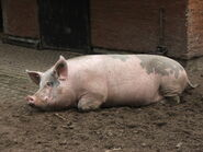 Pig (Animals)