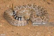 Rattlesnake, Western Diamondback (V2)