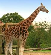 TSLotZ Giraffe