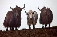 Three Yaks