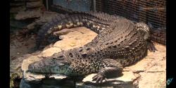 Toledo Zoo Crocodile-02a.png