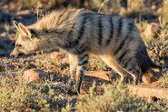Aardwolf (V2)