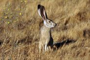 Black tailed jackrabbit animal