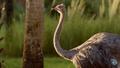 DAK Ostrich