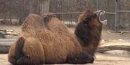 Denver Zoo Bactrian