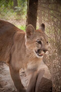 Eastern South American cougar (Puma concolor anthonyi)