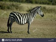 Grant's Zebra Mare