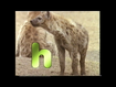 H is for Hyena