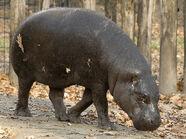 Hippopotamus, Pygmy.jpg