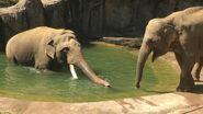 Male and female Sri Lankan elephants