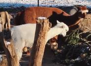Milwaukee County Zoo Alpacas