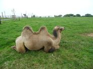Noah's Ark Two Bactrian Camels
