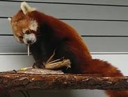 Seneca Park Zoo Red panda