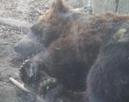 Toledo Zoo Grizzly Bears