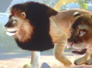 Asiatic-lion-zt