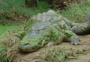 Birmingham Zoo Alligator