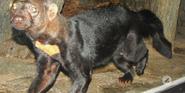 Cincinnati Zoo Tayra