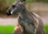Cleveland Zoo Red Kangaroo