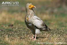 Egyptian-vulture-on-ground.jpg