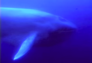 Henry's Amazing Animals Blue Whale