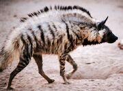 Hyaena hyaena.jpg