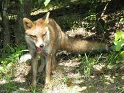 Japanese Red Fox.jpg