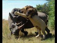 Lion Vs Rhinoceros