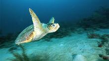Loggerhead-sea-turtle-swimming-underwater.jpg