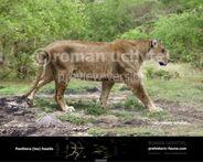 Panthera fossilis 2012-738x591