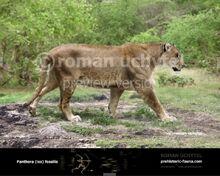 Panthera fossilis 2012-738x591.jpg