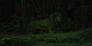 Singapore Zoo Transvaal Lion