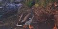 Toledo Zoo Duck
