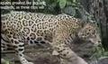 Zoboomafoo Jaguar