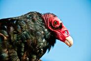 Zoboomafoo Vultures