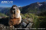 Alpine-marmot-feeding