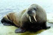 Atlantic Walrus.jpg