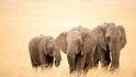 Beautiful Big Three Elephants walking on Dry Grass Wallpapers