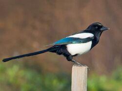 Common magpie (Pica pica).jpg