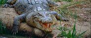 Crocodile, Saltwater (V2)