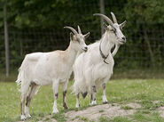 Domestic Billy and Nanny Goats