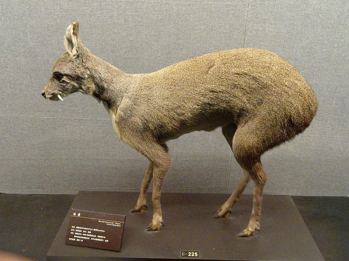 Dwarf Musk Deer