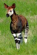 Okapia johnstoni -Marwell Wildlife, Hampshire, England-8a