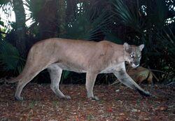 Panther remote camera.jpg