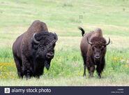 Plains Bison Bull and Cow